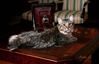 American Bobtail cat - tabby pattern