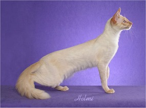 Red point Modern Siamese cat