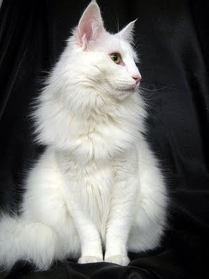 Ginger And White Norwegian Forest Cat