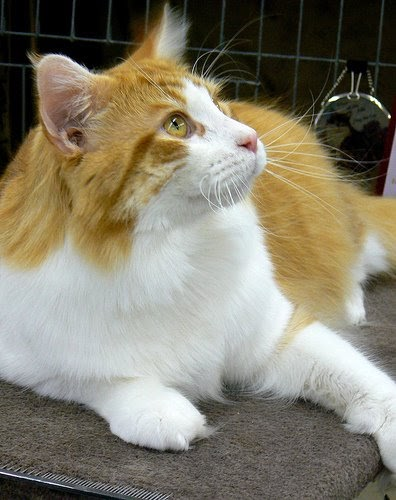 Maine Coon Cat Ginger And White