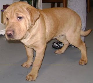 Lois Lane Adventures Of A Superpup Sharp Eagle Puppies On Petfinder