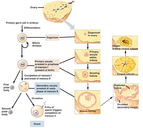 Oogenesis vs Spermatogenesis http://junk.home.pl/spermatogenesis-and-oogenesis&page=3