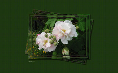 http://tocjan.blogspot.com/2009/10/confederate-rose.html
