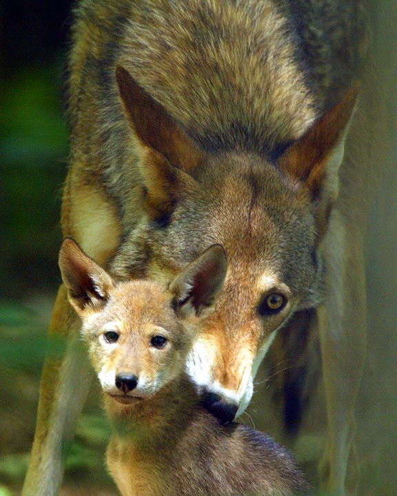 a history of the species canis rufus also knows as red wolf Red wolf, scientifically called canis rufus, is the species of wolf that is widely found in united states, florida and texas the present red wolf shares many similarities with the eastern wolf, coyote and the gray wolf it is slighter smaller than the gray wolf and has an elongated head and a more .