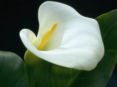 الزنبق calla+lily+with+1+pe
