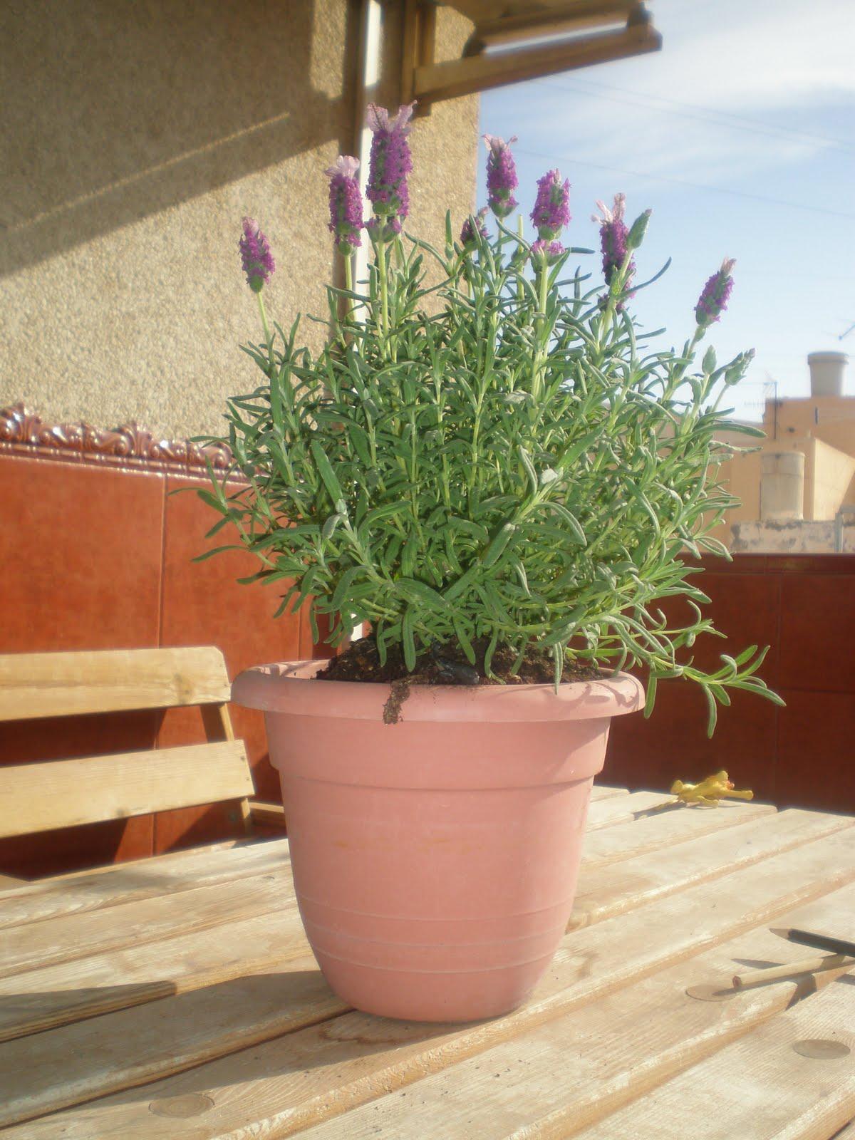 Cosas de loly mi planta - Cuidados lavanda en maceta ...
