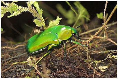 http://4.bp.blogspot.com/_LoPTdkHrjjk/Sqnje9kRDCI/AAAAAAAAE7s/p3BdvcqI8EM/s400/An-iridescent-Beetle-mount-bosavi-amazing-pictures-nature.jpg