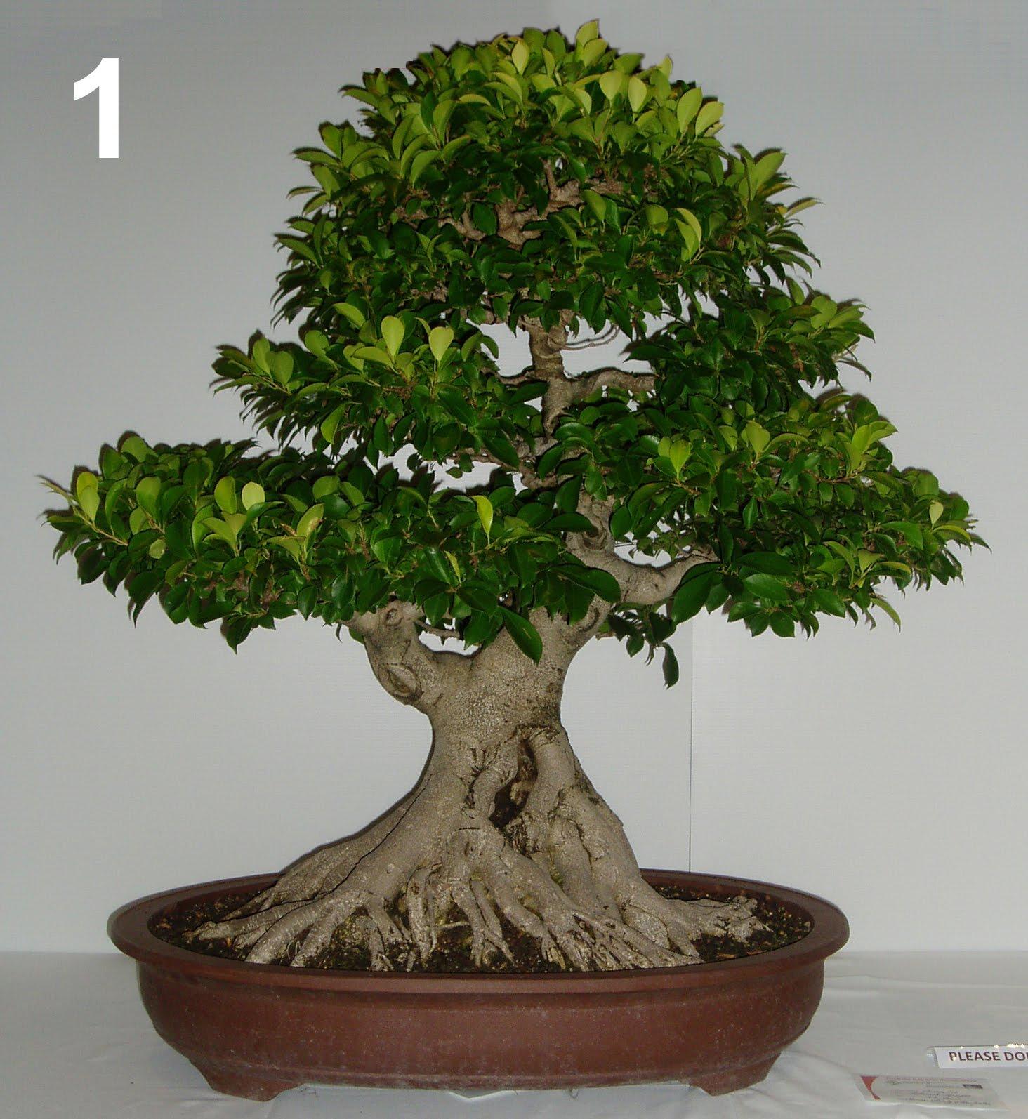 australian native bonsai. Black Bedroom Furniture Sets. Home Design Ideas
