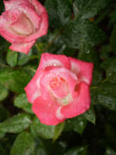 Roses in our Kona rain