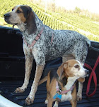 Our beautiful bluetick coonhound and our super adorable beagle
