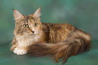 pedigree_Maine_Coon_Budletts_Guinevere