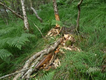 Beaver Damage Loch Linnhe