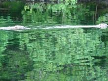 Beavers in Loch Linnhe