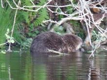 Beaver in Loch Linnhe Argyll