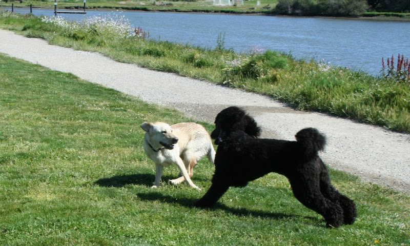 action shot of cabana and a big black poodle chasing in circles