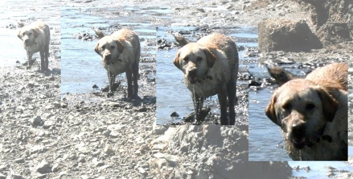 cabana emerging from the water and mud on the rocky shoreline, water is dripping from her open mouth, she has a rabid looking expression on her face, the photo has been manipulated so that it shows closer and closer up photos of her, with the last one a close crop on her crazy face