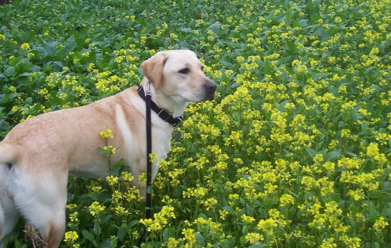 cabana standing in a field of mustard plants, growing up to her chest height, you can't see anything else but the little yellow mustard flowers with green leaves