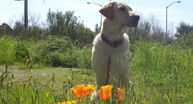 cabana sitting close up with 4 or 5 orange california poppies blooming in front of her
