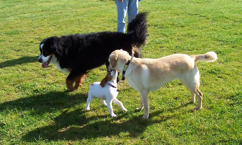 cabana is standing in the same field, with the 11-week puppy in front of her, puppy is craning her head up to cabana's chin, the huge burnese mountain dog is behind them
