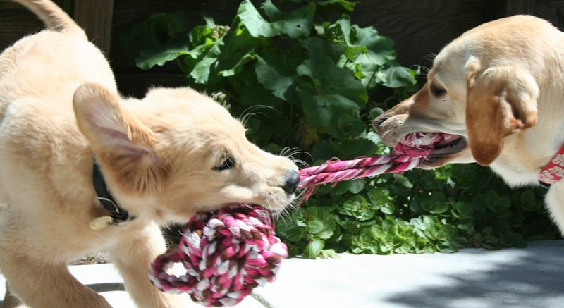 action shot of montego pulling a pink and white tug rope, he's in motion pulling hard, with the ball portion of rope hanging from his mouth, cabana stands opposite him with the small knotted end in her mouth