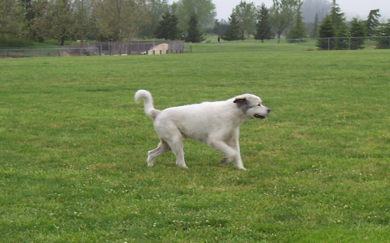 the silvery colored big dog, running by himself in the grass