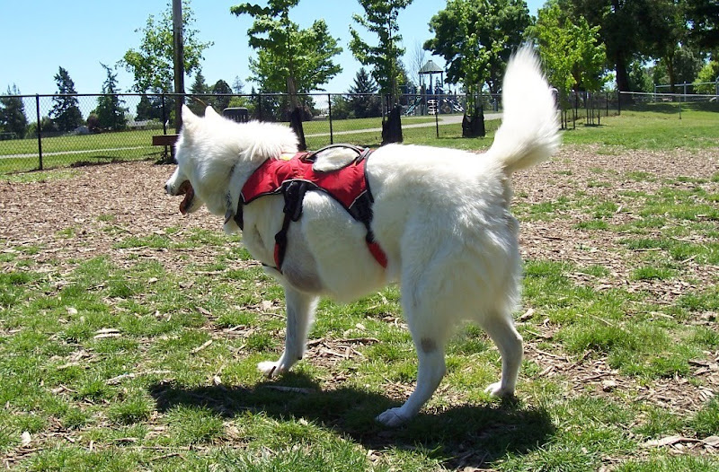 large fluffy white dog, part husky, part wolf maybe? missing left front leg, wearing a red harness type jacket
