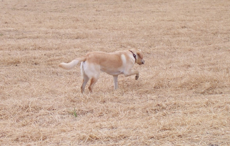 cabana standing in a dry grass field, she is turned away from the camera and is holding her front paw aloft