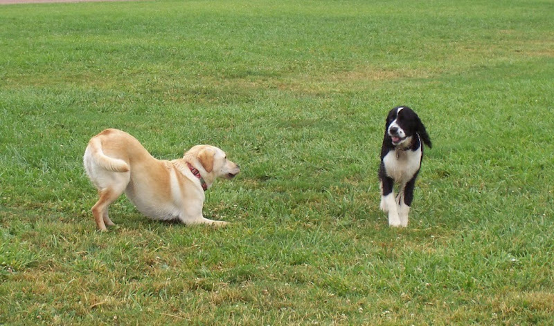 cabana doing a play bow as little black and white spaniel maggie looks at her