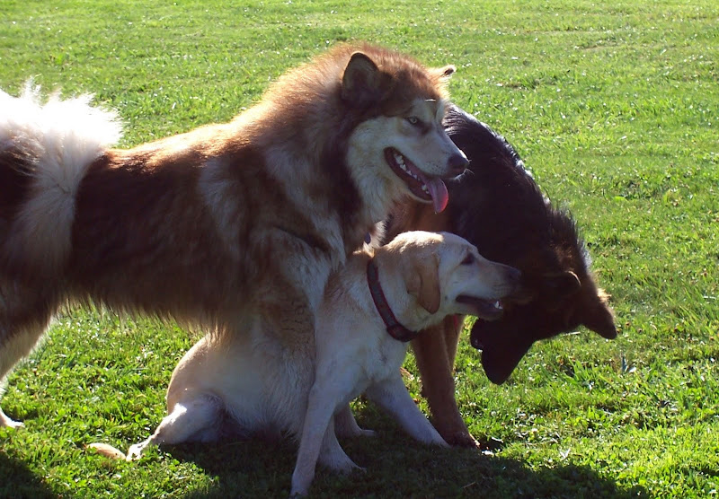 a tired but happy to be popular cabana is sitting, with regal looking Luka standing over her, beau is right next to them with his head down toward cabana's