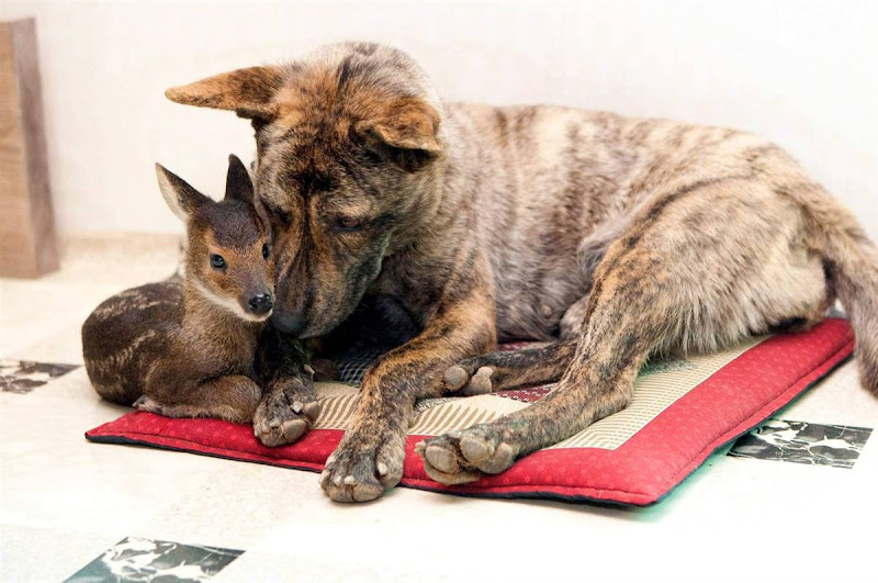 a small brindle colored dog nuzzles a tiny brown elk with white spots; they are laying on a flat quilted mat with red border