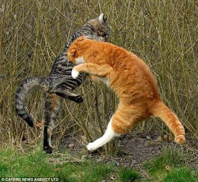 Gambar Photo Lucu Ajaib Kucing Tarung Ala Ninja Foto Jepang Dahsyat Titisan Lion Maru Tiger Joe