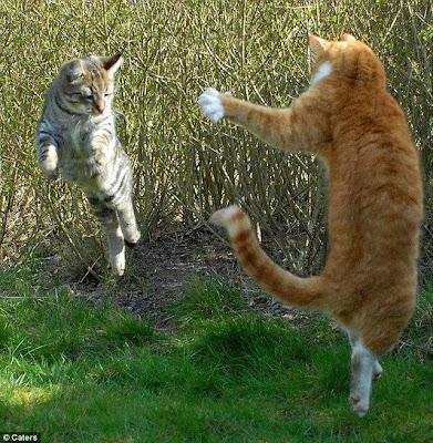 Foto Gambar Kucing Bertarung Ala Ninja! Peliharaan Lion
