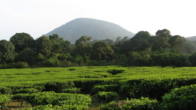Tea Estate,Meghamalai