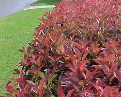 Una meravigliosa siepe la photinia for Pianta con foglie rosse