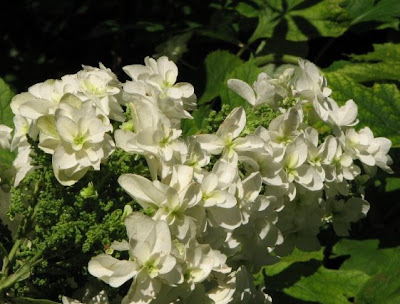 Fiorista mariangela ortensia quercifolia for Ortensia quercifolia