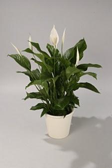 Fiorista mariangela spatifillo for Spatifillo pianta