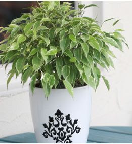 Ficus benjamina Kinky una pianta per la cucina – Fiorista Mariangela ...