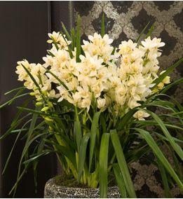 La pianta di cymbidium for Orchidee da esterno