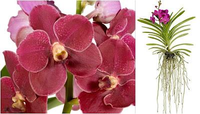 Orchidea vanda for Vasi per orchidee