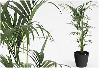 Kentia fiorista mariangela blog for Kentia pianta