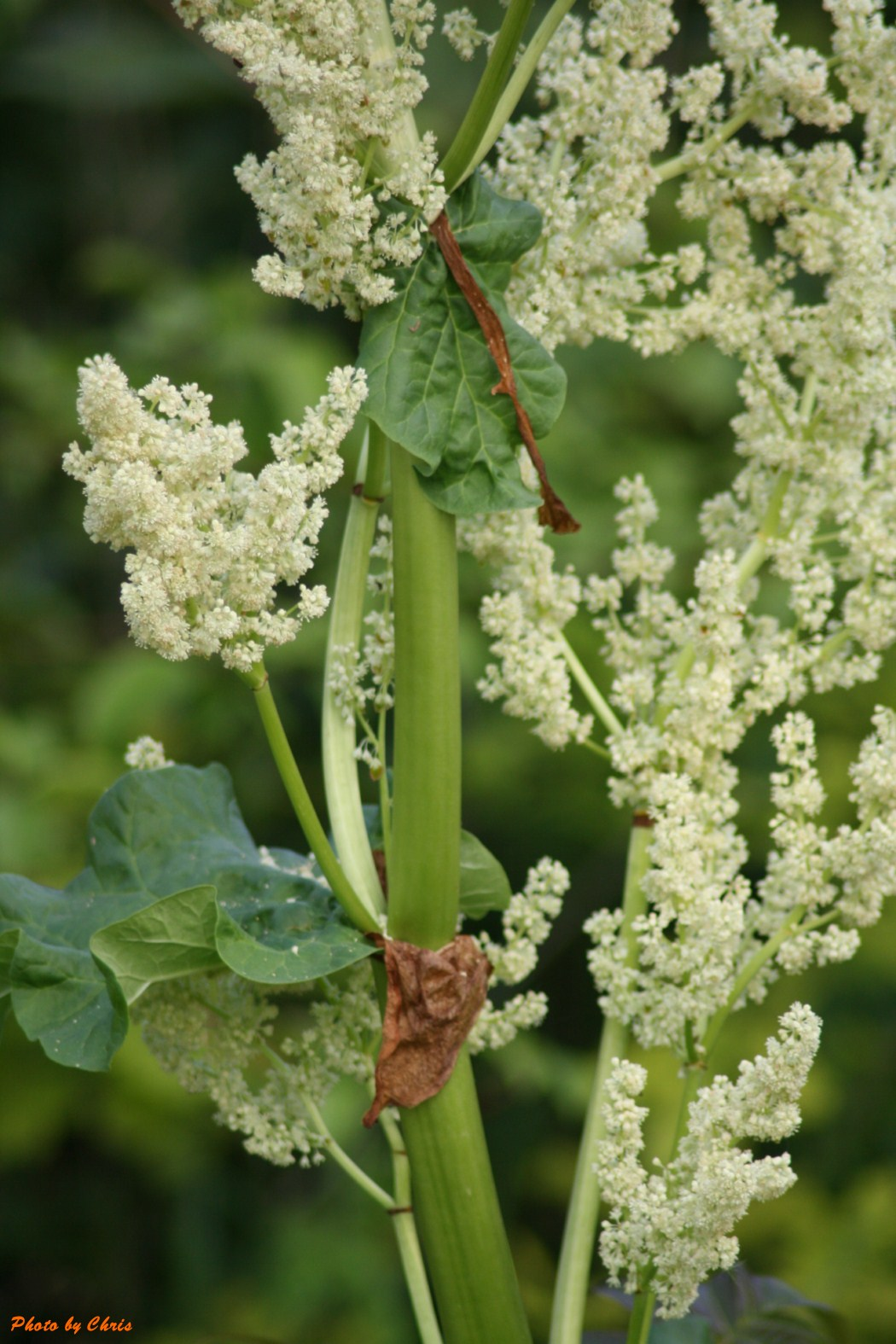LA GALERIE: Fleurs de rhubarbe.