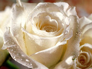 My true love..white rose..