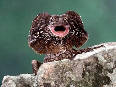 The Dragon Lizard Menaces Photographers