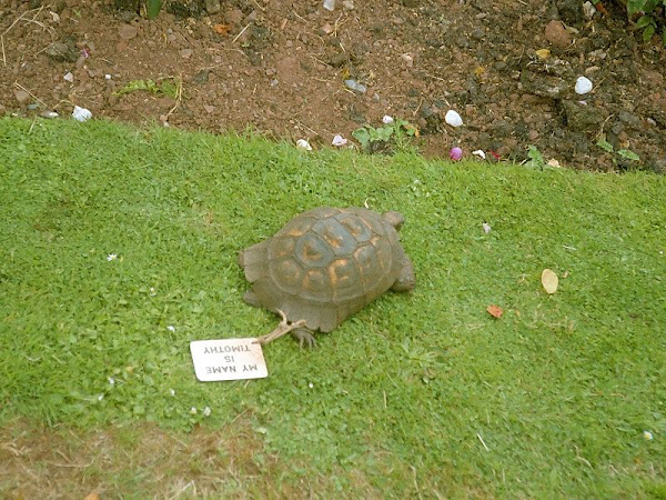Timothy the Tortoise at Powderham Castle