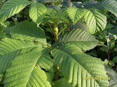 Maamme kasvistoon on juurtunut hevoskastanja lujin sitein