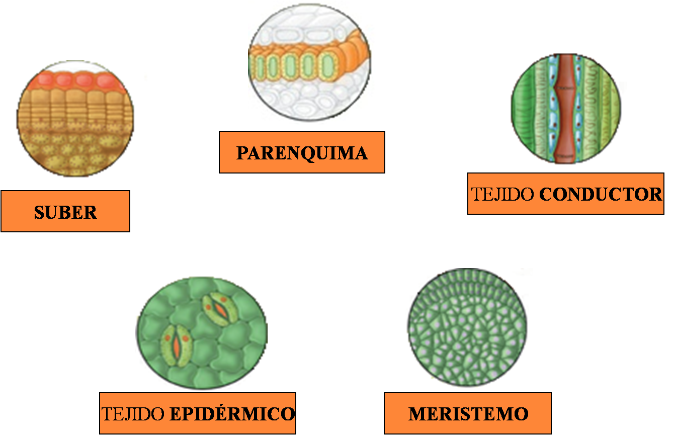 biologia LOS TEJIDOS VEGETALES