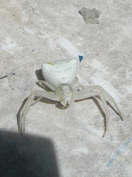 D couvertes et curiosit s de mon jardin araign e crabe blanche - Araignee des jardins en 6 lettres ...