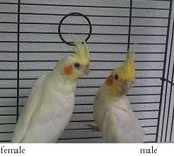 How to sex a cockatiel photos 72