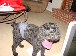 Seamus, The diaper wearing Wonder Dog!!