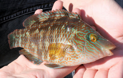 large (ok, very small) wrass - my first fish caught whilst sea fishing!